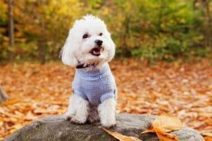 bichon-frise pup