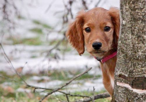 irish-setter-puppy
