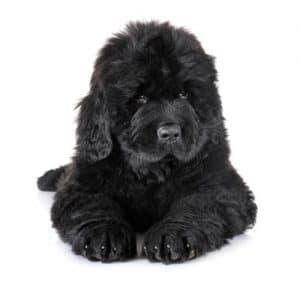 Newfoundland Pup
